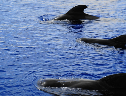 Pilot Whale Watching in Tenerife
