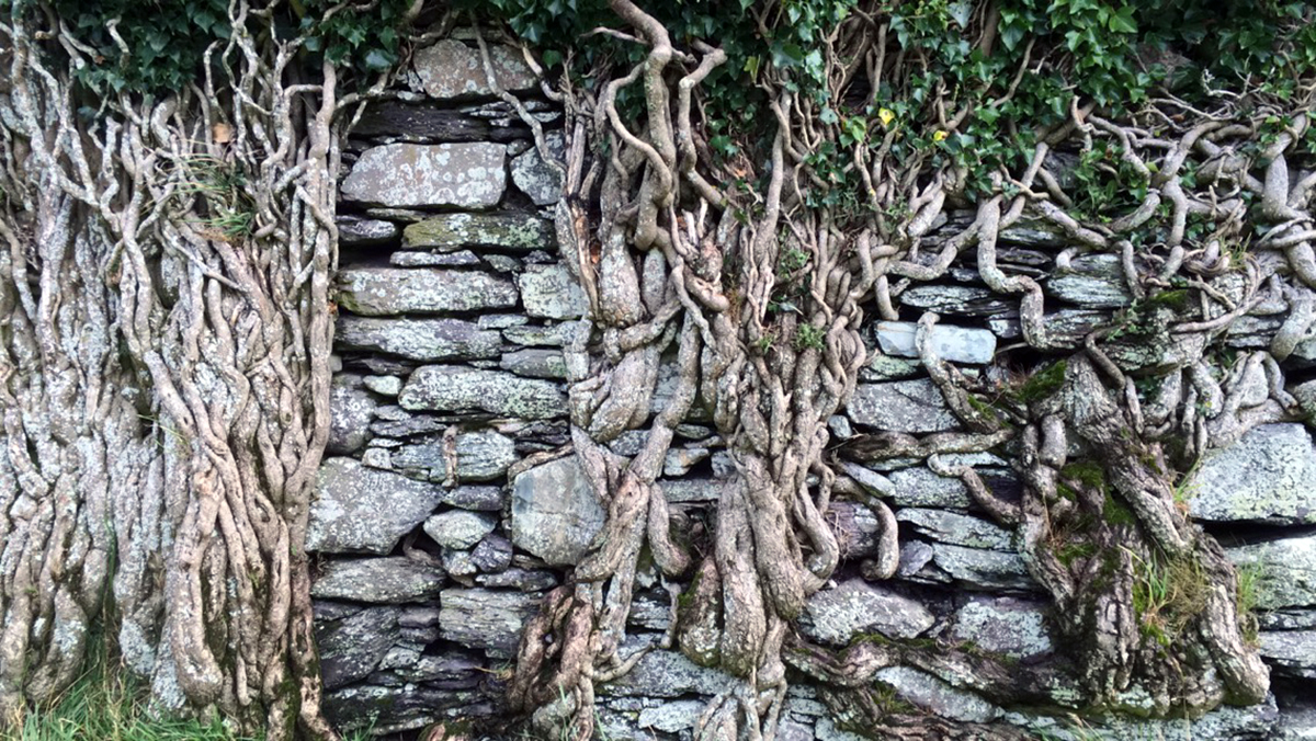 ballycarberry castle vines